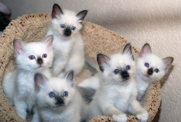 Бирманские котята сидят в корзинке