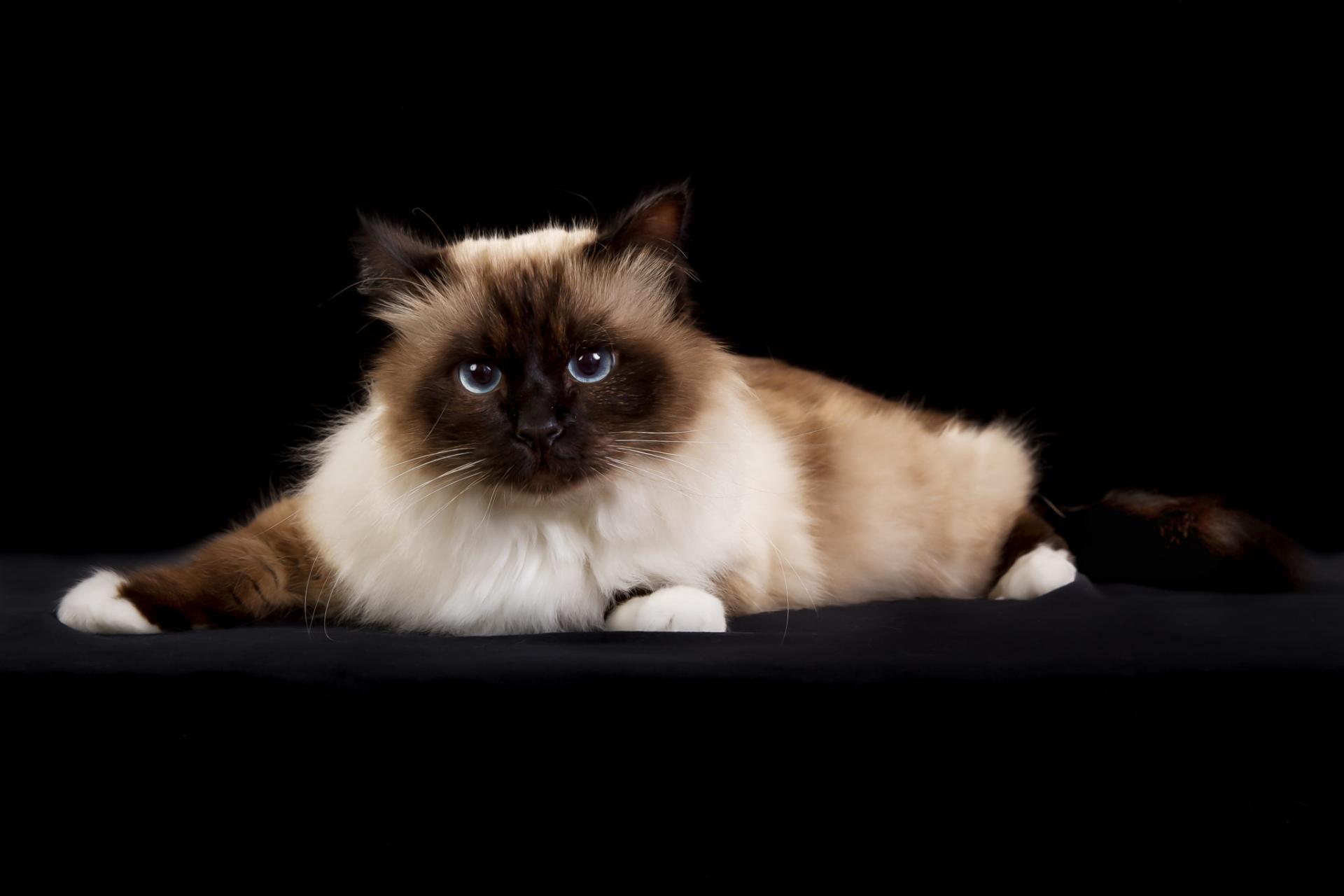 коты сибирская бирма было делать
