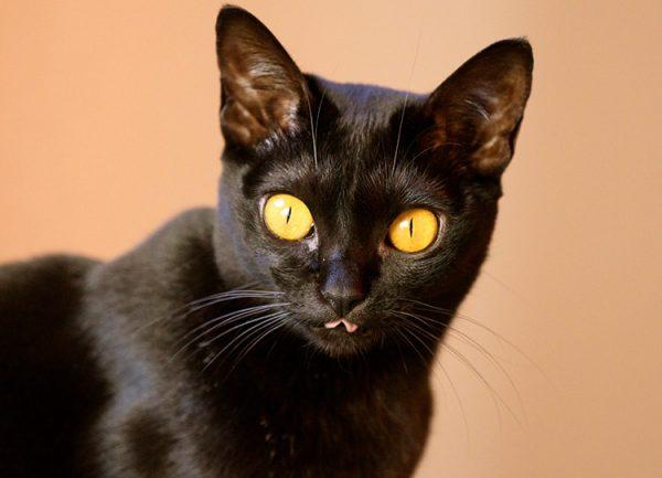 Бомбейская кошка с высунутым языком