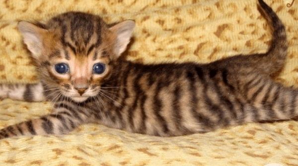 Котёнок тойгера