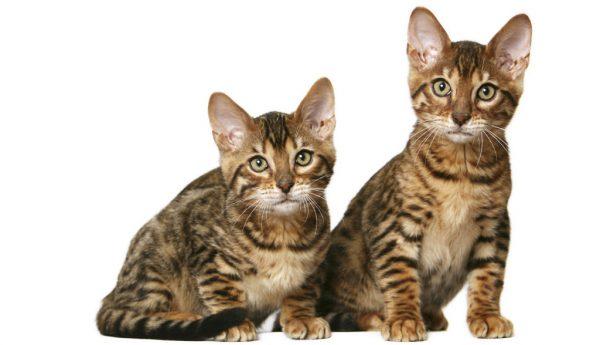 Котята тойгера