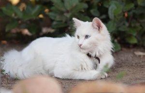 Ангорская кошка лежит на садовой дорожке