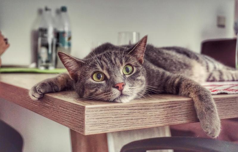 Сколько лет живут британские кошки и какие факторы влияют на продолжительность жизни британца