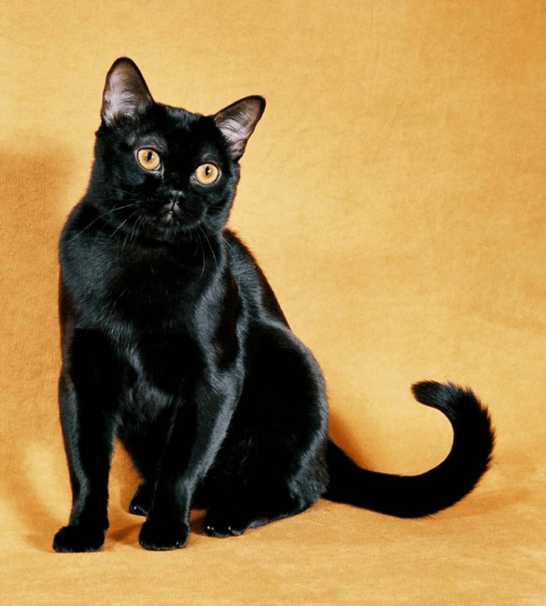 Бомбейская кошка на жёлтом фоне