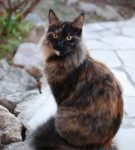 Трёхцветная ангорская кошка сидит на камнях в саду