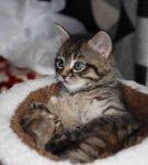Два ангорских котёнка окраса тэбби лежат в корзинке