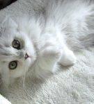 Серый ангорский котёнок лежит на спине