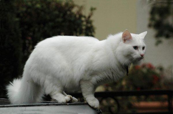 Белая ангорская кошка стоит на ограждении