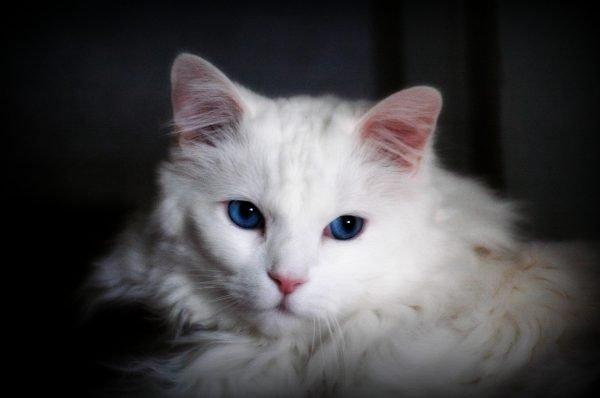 Голова белой ангорской кошки с синими глазами