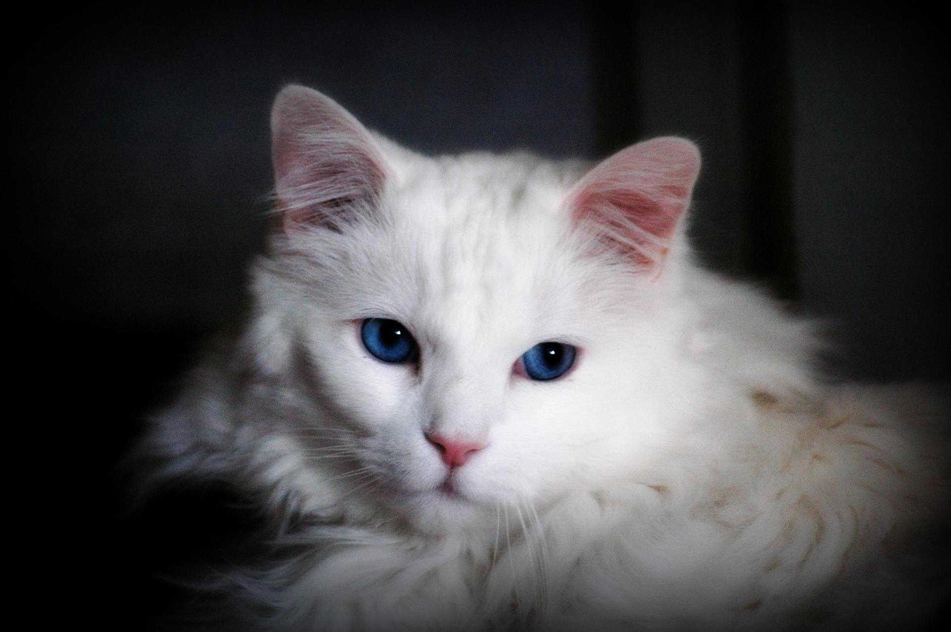 обеспечивает картинки ангорского кота для