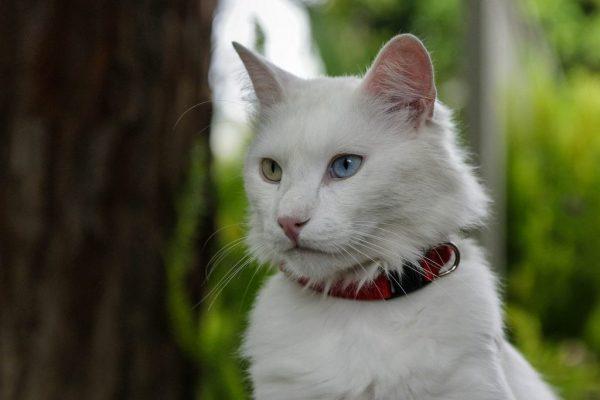 Ангорский белый кот с гетерохромией и в красном ошейнике на фоне зелёной листвы