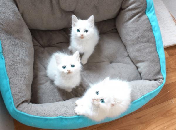 Три белых голубоглазых ангорских котёнка сидят в корзинке и смотрят вверх