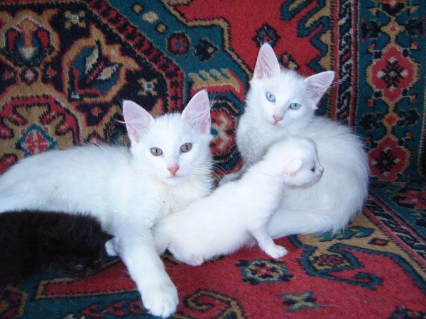 Семья белых турецких ангор с котятами сидит на ковре