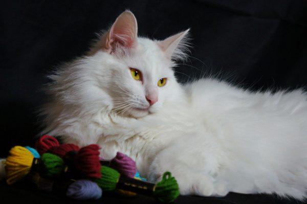 Белый ангорский кот лежит рядом с мотками цветной пряжи