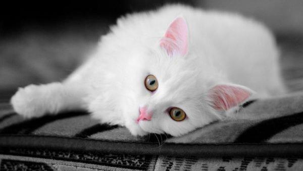 Ангорская кошка лежит на боку, вытянув одну переднюю лапу