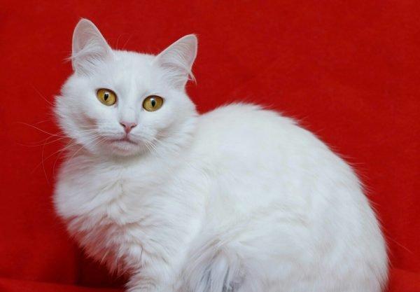 Белый ангорский кот сидит на красном фоне