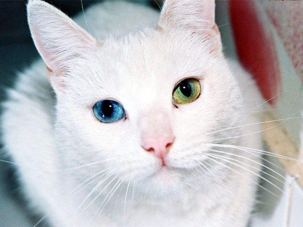 Голова белой ангорской кошки с гетерохромией