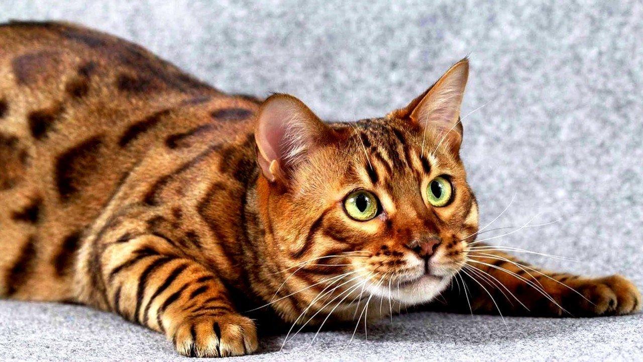 Отличительные особенности и характер кошки тойгер