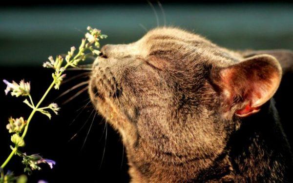 Кошка нюхает котовник