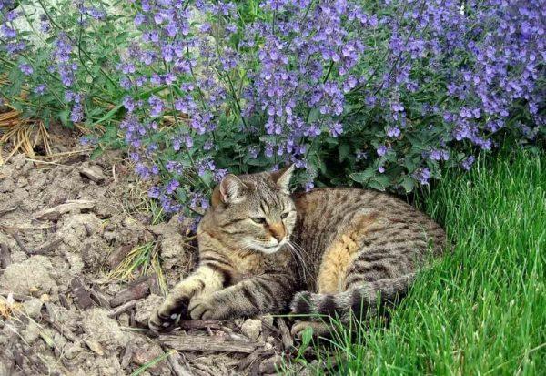 Кот в зарослях котовника