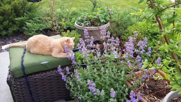 Кот смотрит на котовник