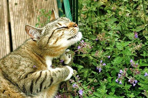 Кот нюхает кошачью мяту