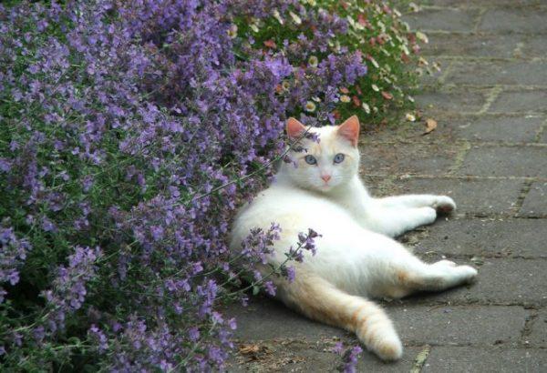 Белый кот в котовнике