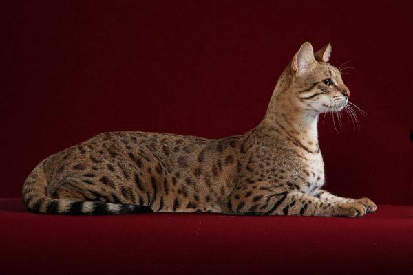 Кошка породы ашера лежит на красном бархатном фоне