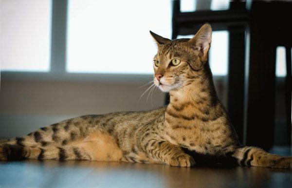 Котик породы ашера лежит на полу возле стола и смотрит вдаль