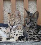 Котята породы ашера серебристого и чёрно-дымчатого окраса лежат бок о бок у стены