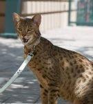 Кошка породы ашера сидит во дворе на привязи и рычит