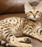 Кошка королевская ашера лежит на кожаном коричневом диване