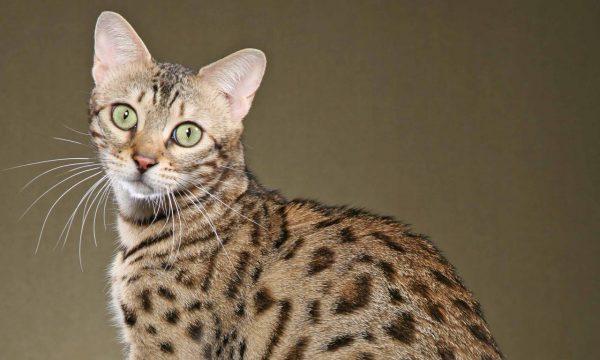 Кошка ашера сидит, глядя вбок с наклоненной головой