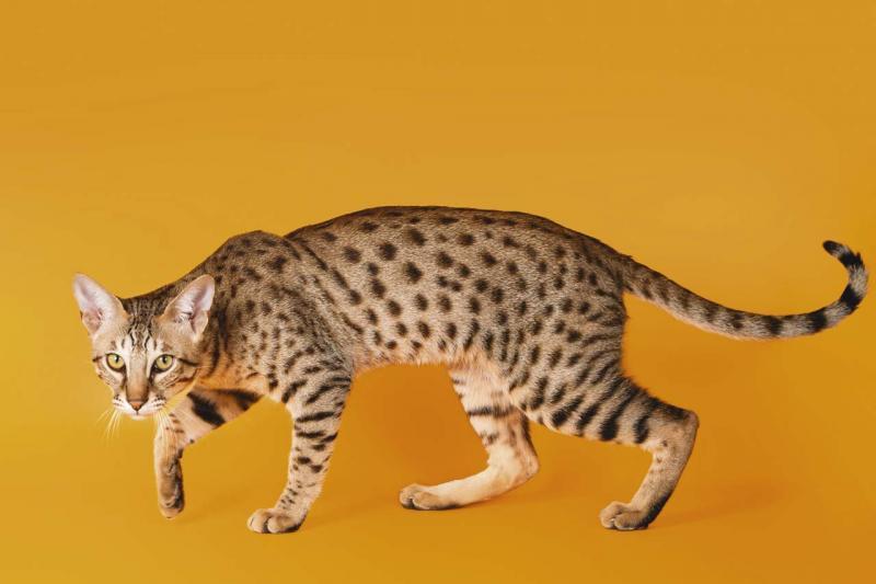 Британская черепаховая кошка фото