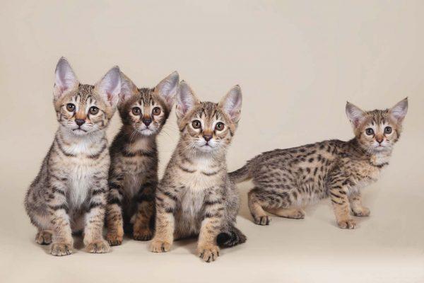 Четыре котёнка породы ашера сидят и смотрят вверх