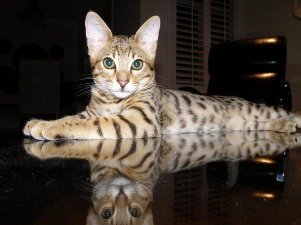 Кошка ашера лежит на зеркальной поверхности