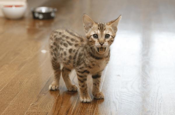Котёнок ашера стоит на полу возле мисок и просит есть