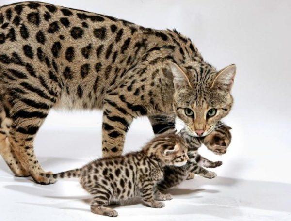 Кошка ашера с котятами в пасти стоит на белом полу