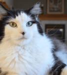 Чёрно-белый ангорский кот с разноцветными глазами лежит на полу