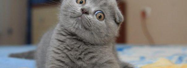 Британский вислоухий котёнок смотрит вбок, наклонив голову