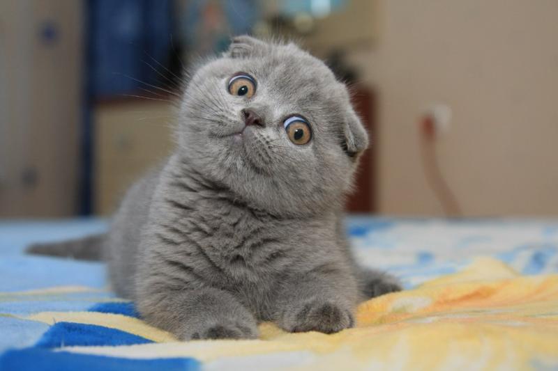 Британская вислоухая порода кошек фото