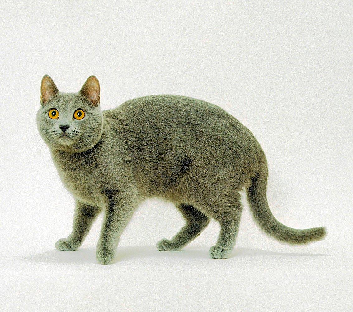 Описание картезианской кошки или шартреза