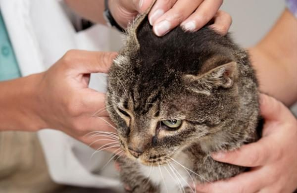Ветеринар осматривает у кошки уши