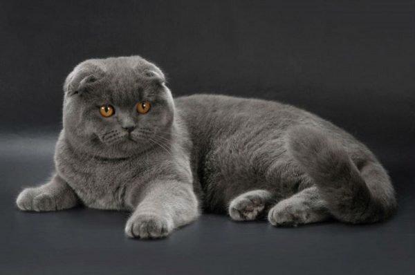 Британский вислоухий кот лежит на сером полу