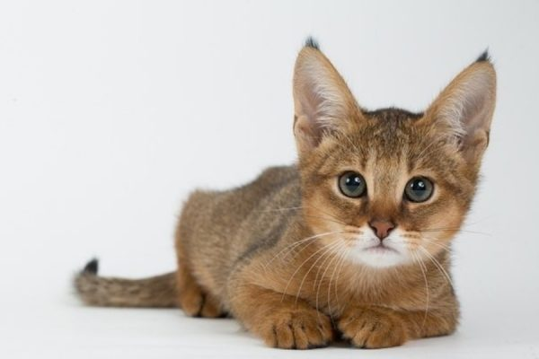 Котёнок чаузи