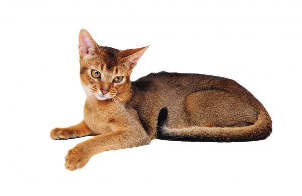 Абиссинский кот