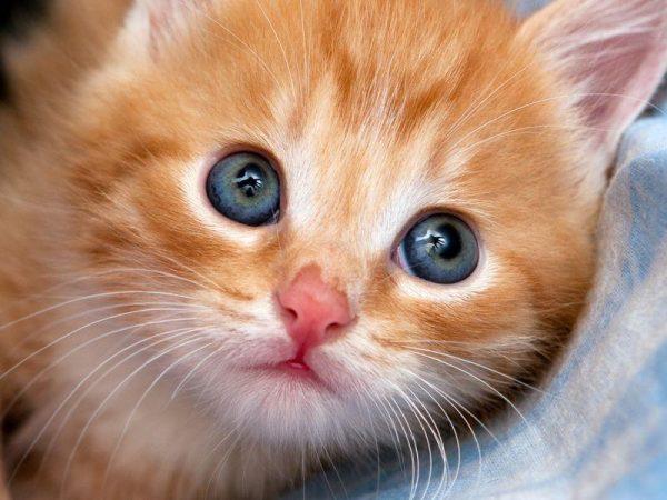 Рыжий котёнок крупным планом