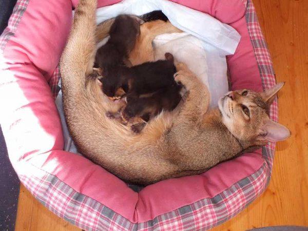 Кошка чаузи кормит котят