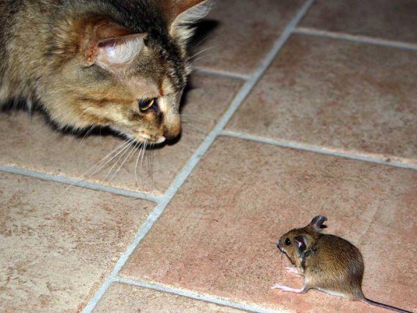 Кот охотится на мышь
