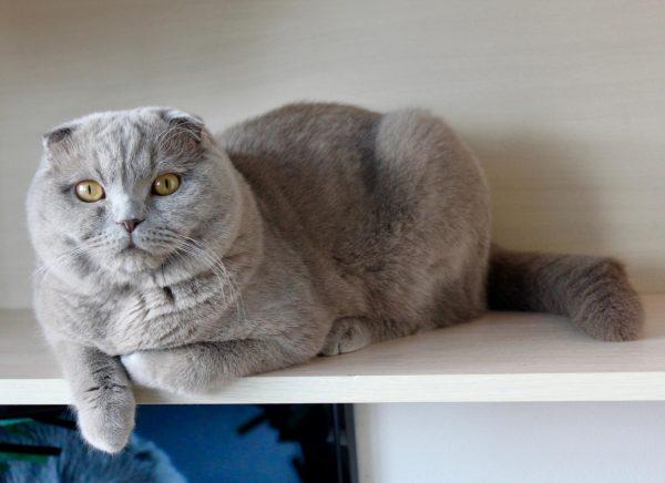 Британский вислоухий кот лежит на полке у стены